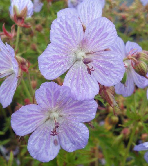 Geranium pratense 'Mrs Kendall Clarke'