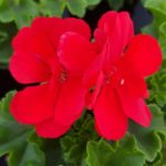 geranium precision bright red