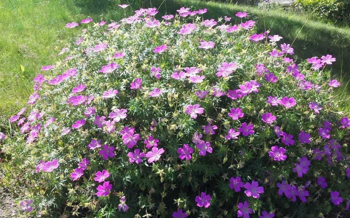 Geranium Sanguineum Farmyard Nurseries