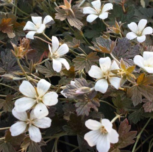 Geranium 'Sanne'