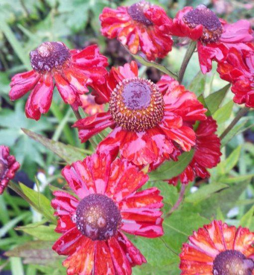 Helenium autumnale 'Ruby Charm'