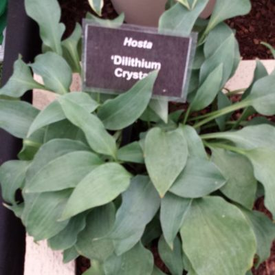 Hosta 'Dilithium Crystal'