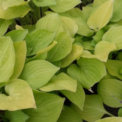 Hosta 'Golden Scepter'