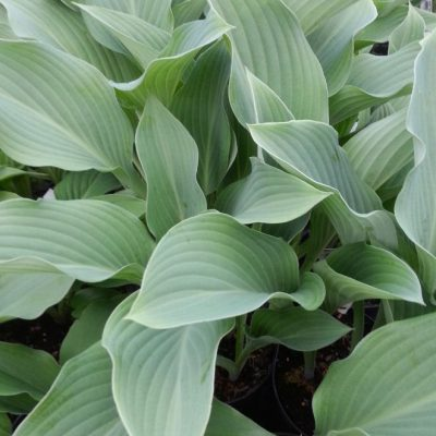 Hosta 'Krosso Regal'