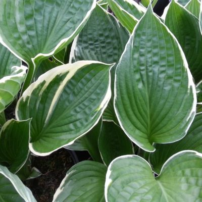 Hosta fortunei 'North Hills'