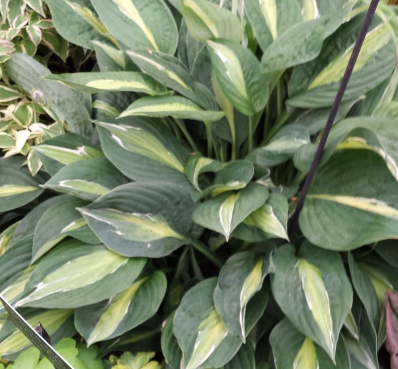 Hosta Striptease Farmyard Nurseries