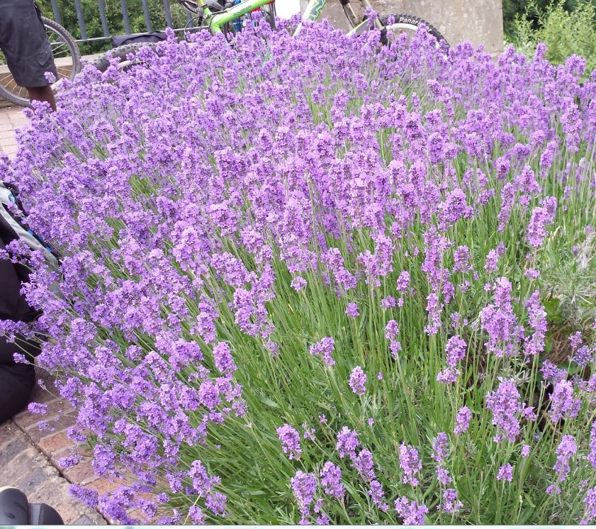 lavandula angustifolia 39 munstead 39 farmyard nurseries. Black Bedroom Furniture Sets. Home Design Ideas
