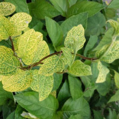 Lonicera japonica 'Aureoreticulata'