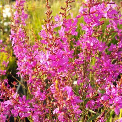 Lythrum salicaria 'Mordern Pink'