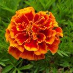 marigold bonanza flame