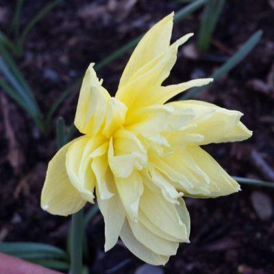 Narcissus eystettensis