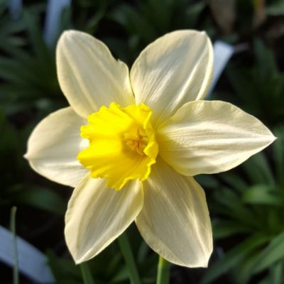 Narcissus 'Spring Dawn'