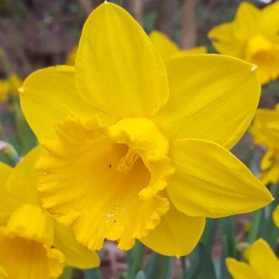 Narcissus 'St Keverne'