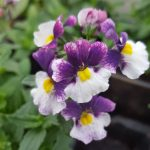 nemesia berries and cream