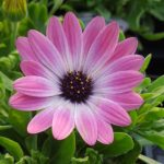 osteospermum pink magic