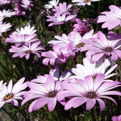 Osteospermum 'Weetwood'
