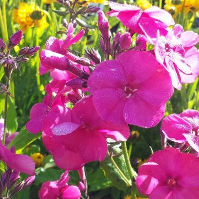 Phlox paniculata 'Younique Cerise'