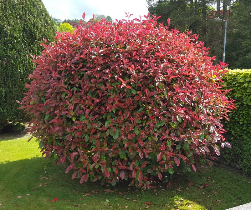 photinia fraseri 39 red robin 39 farmyard nurseries