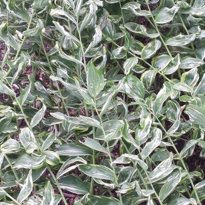 Polygonatum hybridum 'Striatum'