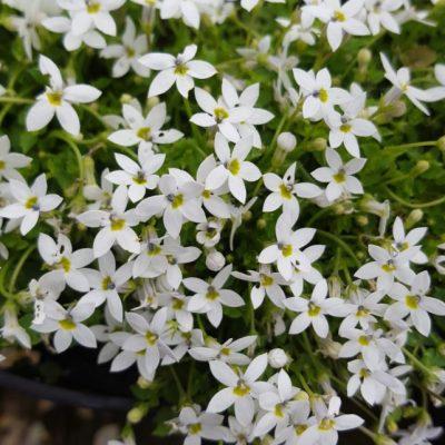Pratia pedunculata 'Alba'