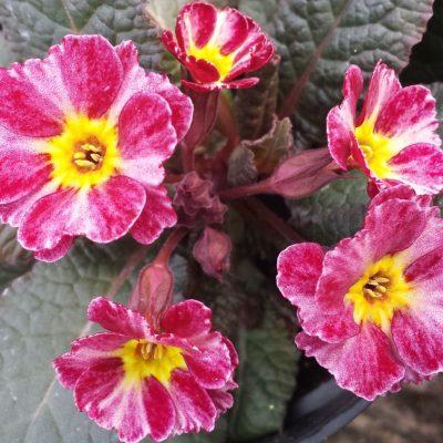 Primula 'Dark Rosleen'