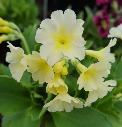 Primula x pubescens 'Cream Viscosa'