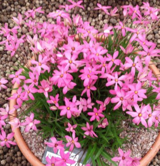 Rhodohypoxis 'Hebron Farm Pink'
