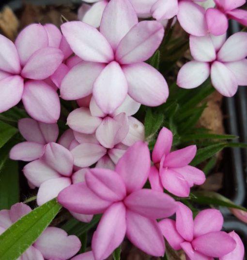 Rhodohypoxis 'Pink Diamond'