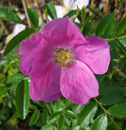 Rosa 'Hazel de la Rougette'