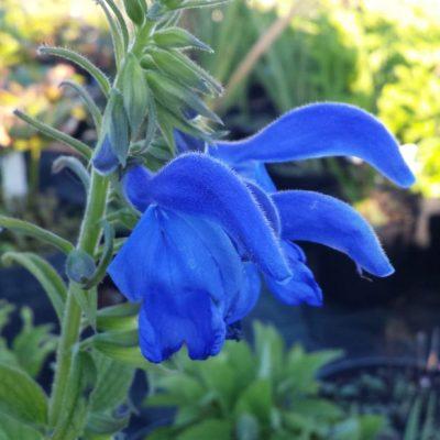 Salvia patens