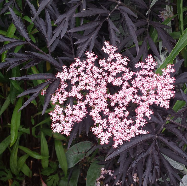 sambucus nigra 39 black lace 39 farmyard nurseries. Black Bedroom Furniture Sets. Home Design Ideas