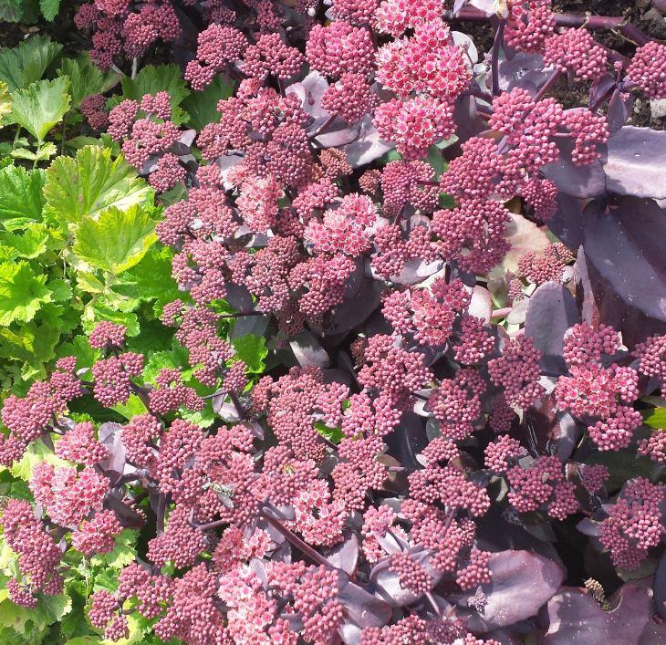 Sedum purple emperor farmyard nurseries altavistaventures Images