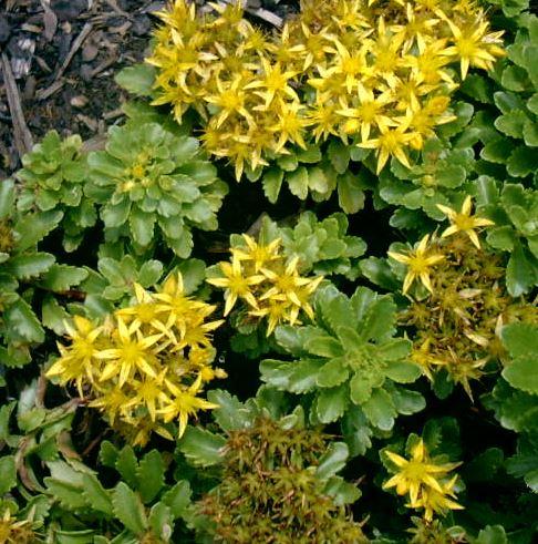 Sedum kamtschaticum 'Weihenstephaner Gold'