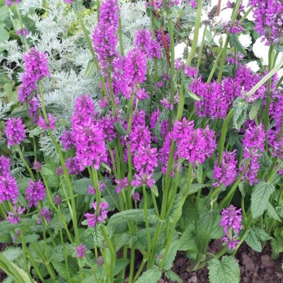 Stachys officinalis 'Rascal'