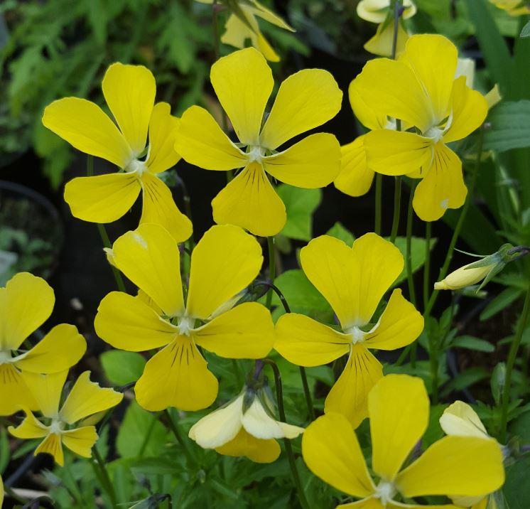 Viola cornuta 'Butterpat'