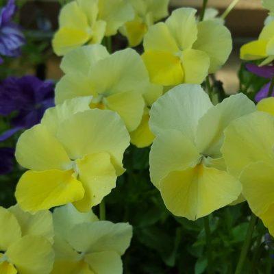 Viola 'Dawn'