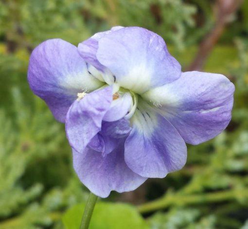 Viola odorata 'Bruneau'