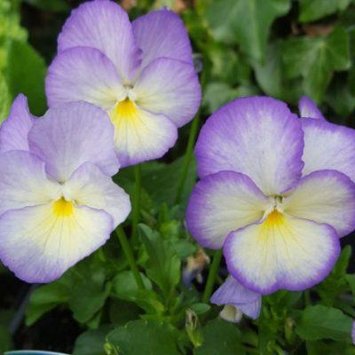 Viola 'Susie'