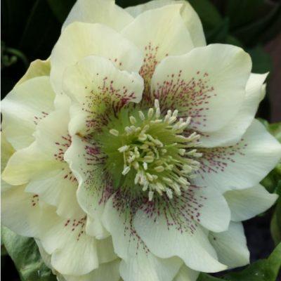 Helleborus x hybridus double cream