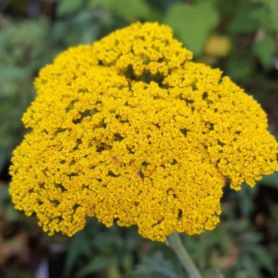 Achillea filipendulina 'Gold Plate'