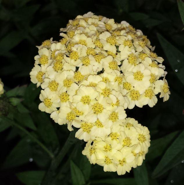 Achillea millefolium 'Summer Fruits lemon'