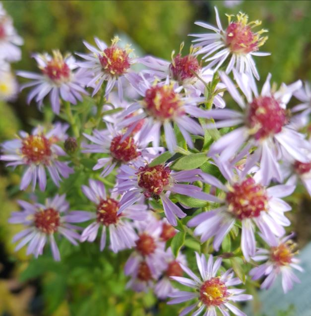 Aster ericoides pink cloud farmyard nurseries mightylinksfo