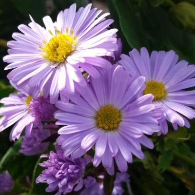 Aster novi-belgii 'King of the Belgians'