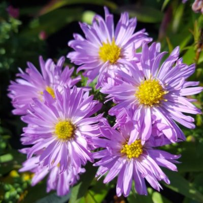 Aster novi-belgii 'Little Pink Lady'