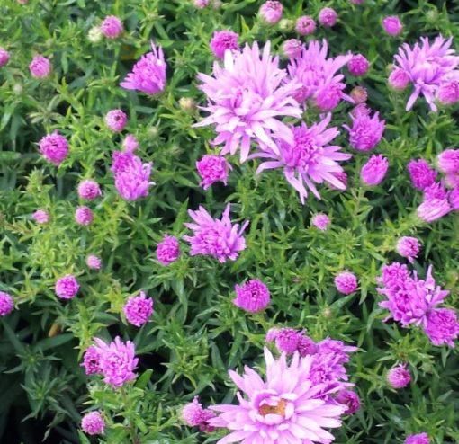 Aster novi-belgii 'Rose Bonnet'