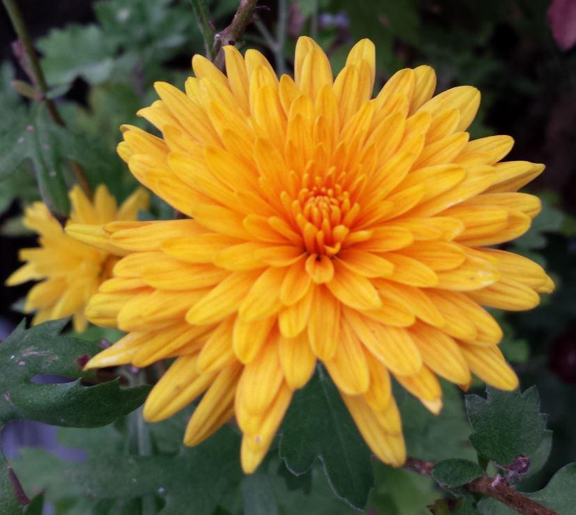 Chrysanthemum ruby rayor