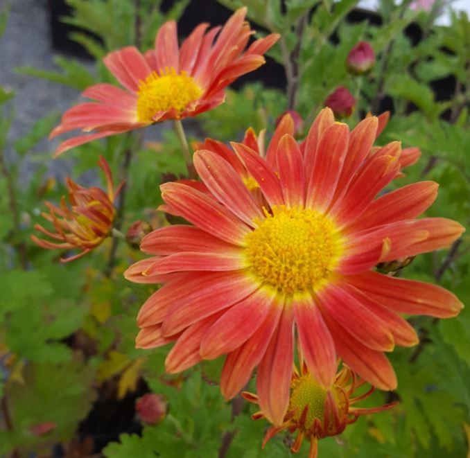 Chrysanthemum 'Cottage Apricot'