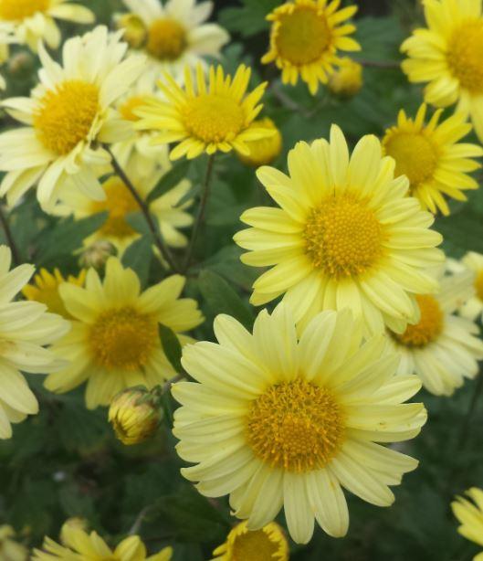 Chrysanthemum 'Early Yellow'