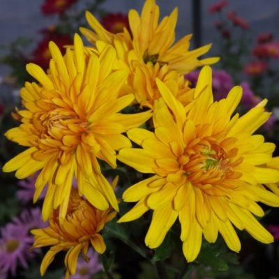 Chrysanthemum 'Ruby Raynor'