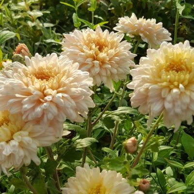 Chrysanthemum 'Sweetheart Pink'